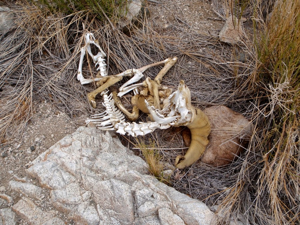 Big Horn Sheep remains on the eastern slopes of the Eldorado Mountains