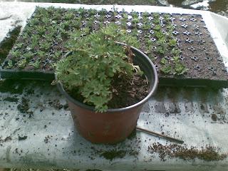 Matična biljka multiflora hrizanteme