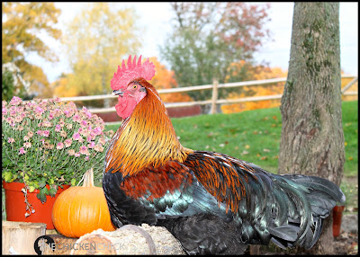 Black Copper Marans cockerel via The Chicken Chick®