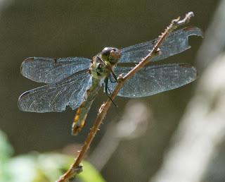 Slaty Skimmer (Libellula incesta) f