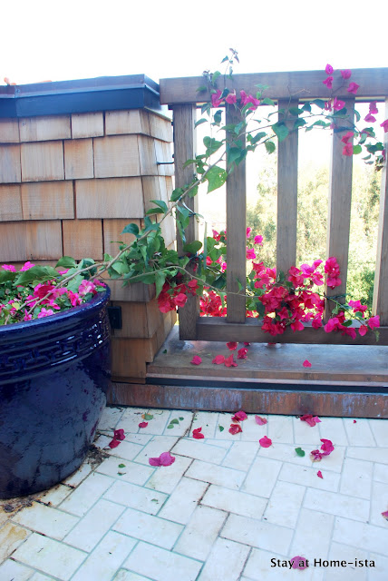 growing bougainvillea in a pot on a deck