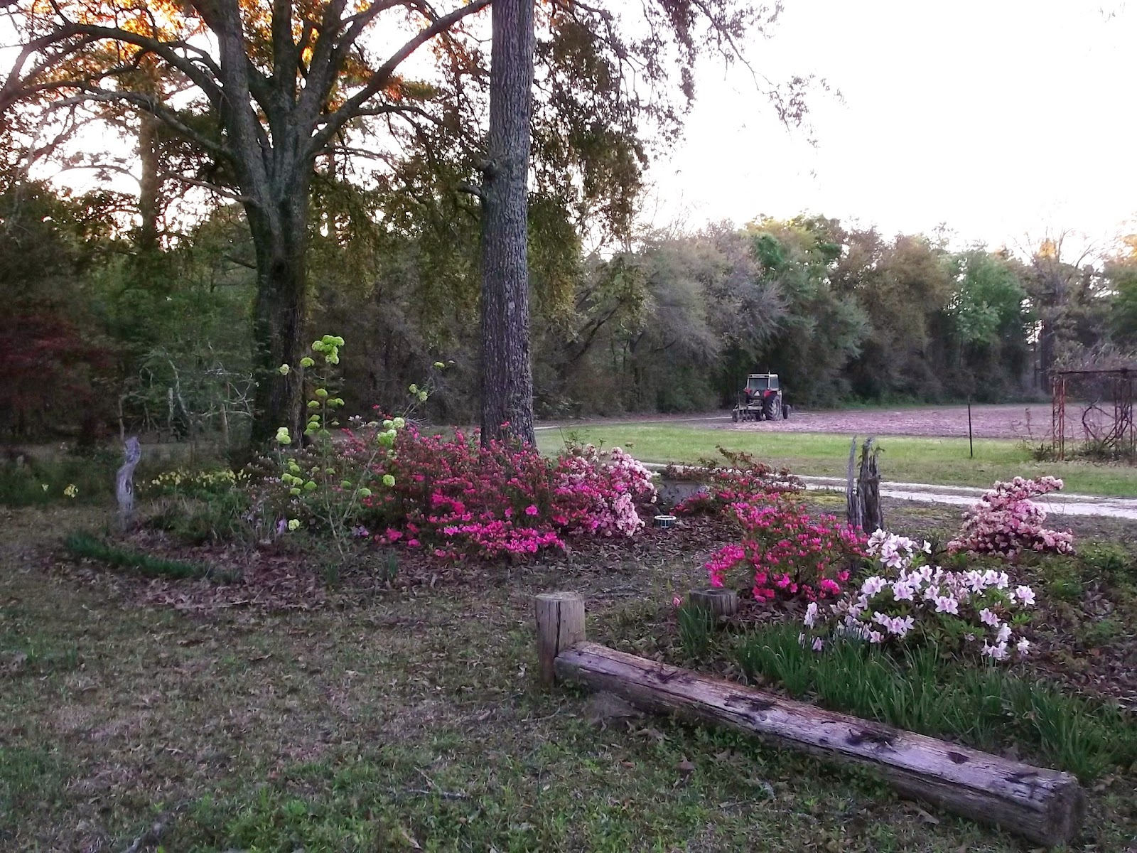Planting Under Deciduous Trees : Planting peanuts younger azaleas here are under deciduous trees and
