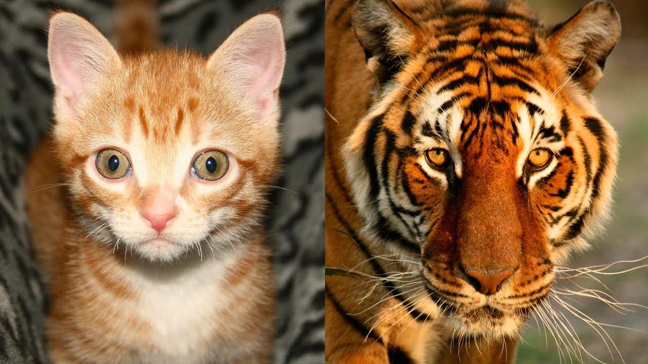 Big Cat Small Cat Similarities