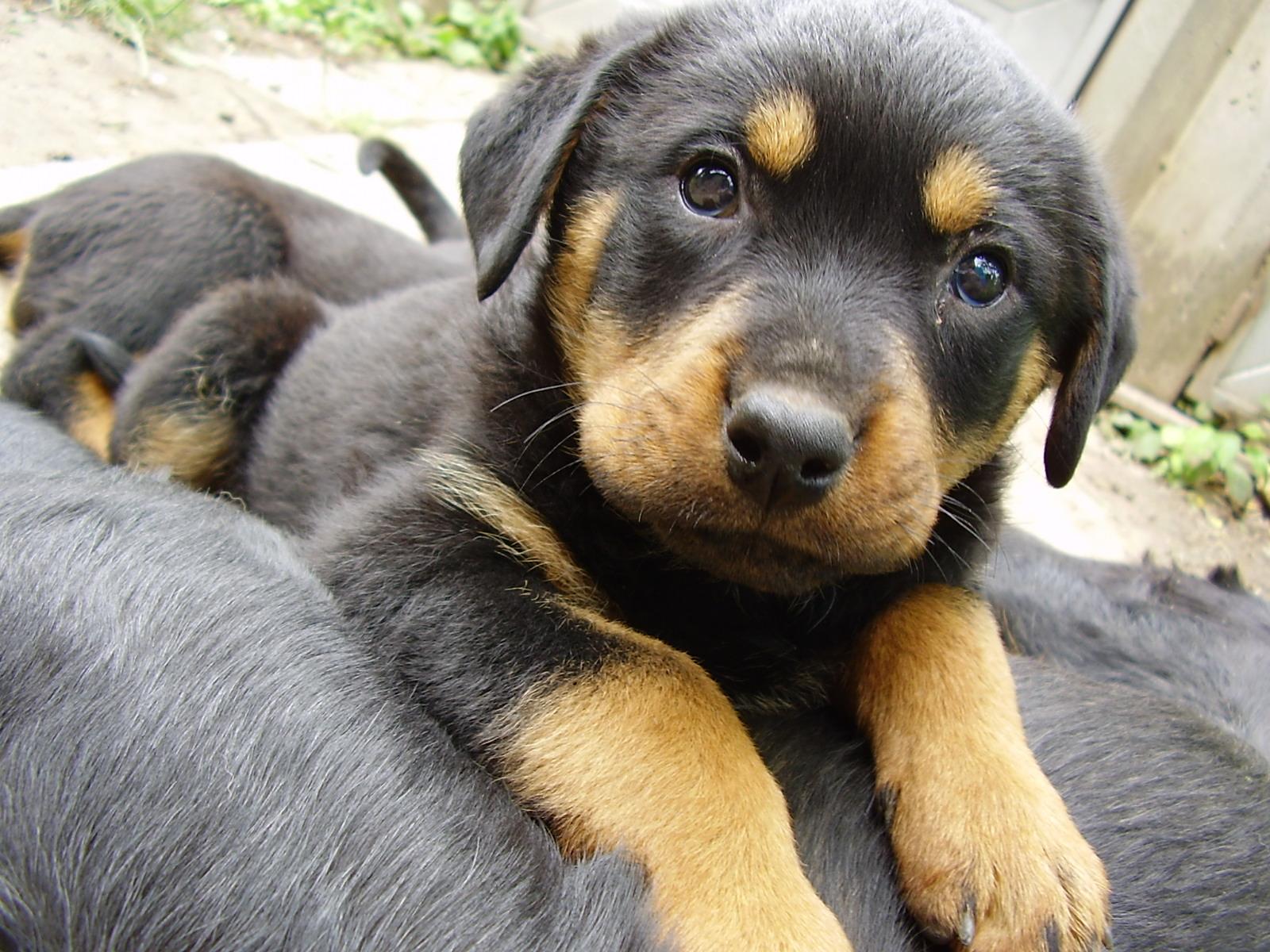 http://1.bp.blogspot.com/-HRV9SzvRVdk/Tz2_HPj9CII/AAAAAAAAHyE/K57D0eltV2Q/s1600/Rottweiler_Puppy_27390.jpg#rotties%20eyes%20gifs%201600x1200