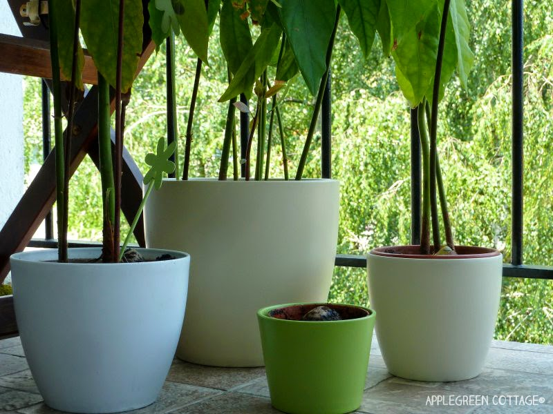 how to grow an avocado tree applegreen cottage. Black Bedroom Furniture Sets. Home Design Ideas