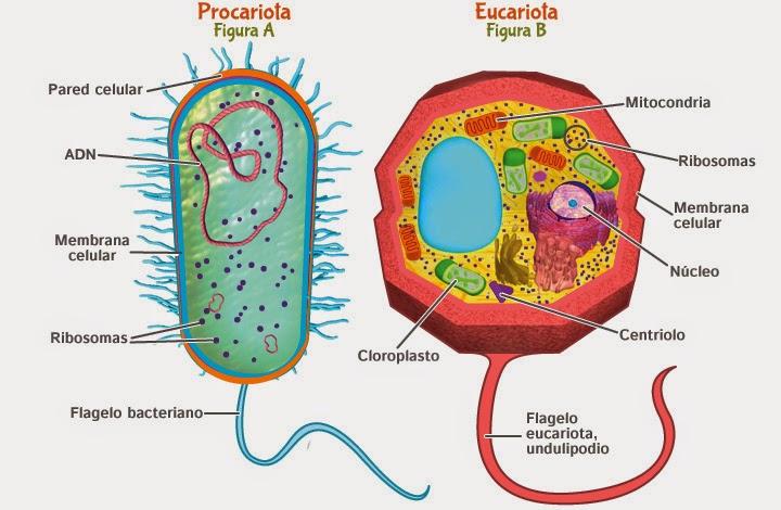 Teor a celular la c lula procariota y eucariota ppt for Pared y membrana celular