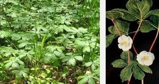 mayapple dangerous herbs