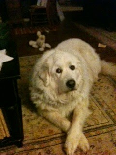 "Babe at home. photo © Carol Bowles  The ""best dog she ever had"" Great Pyrenees dog."