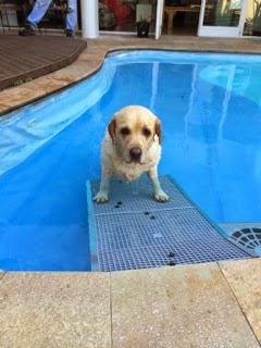 cães sair de piscinas