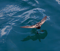Diving Storm Petrel Saved by San Cristobal Wind Project