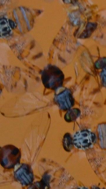 Lucha contra la mosca del olivo para tener un aceite de - Remedio contra las moscas ...