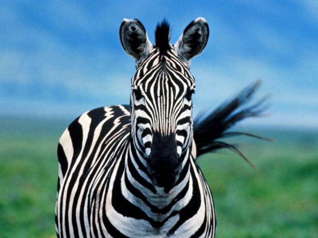 http://1.bp.blogspot.com/-HUqXWLiBH4A/Tb2oT0cWEsI/AAAAAAAAIVM/1WR2KQTwErg/s1600/zebra1.jpg