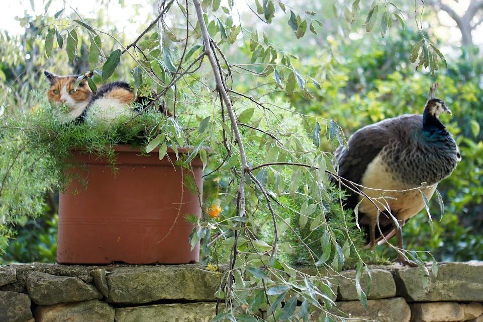 san anton gardens peacock cat malta