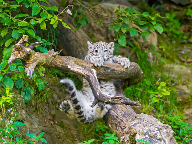 Mohan doing acrobatics! by Tambako the Jaguar from flickr (CC-ND)