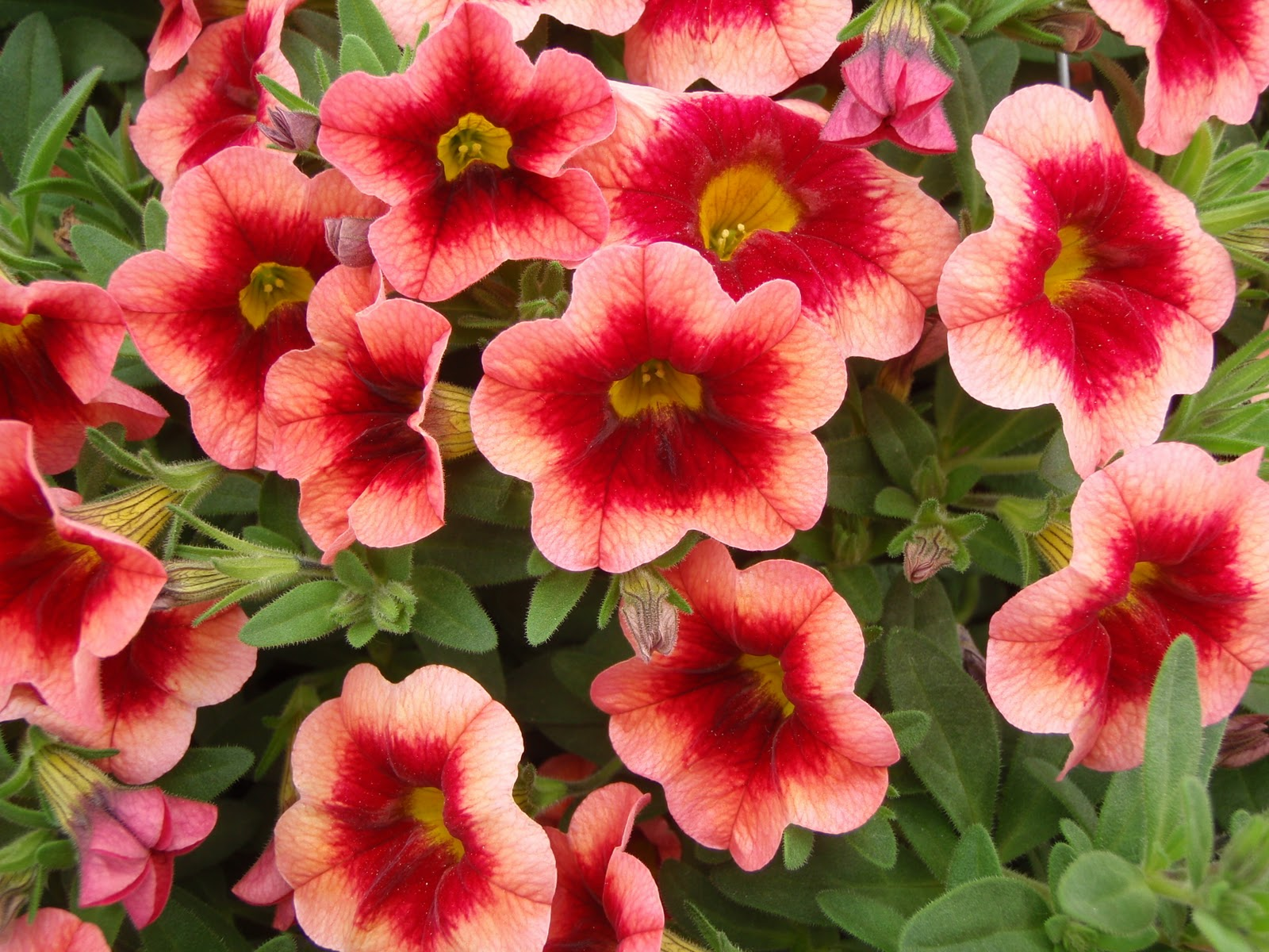 High performance flowers - Calibrachoa superbells ...