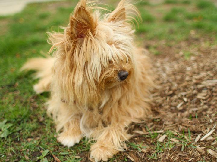 Shih Tzu Cairn Terrier Mix Cairn terrier mix