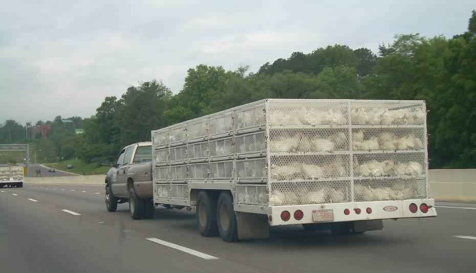 Camión de patos en China y remolques de pollos en Estados Unidos. Rumbo a mataderos de aves.