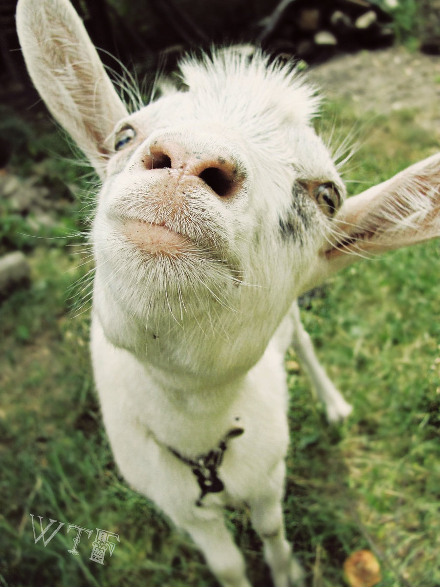 Funny Pictures Of Goats GALLERY FUNNY G...