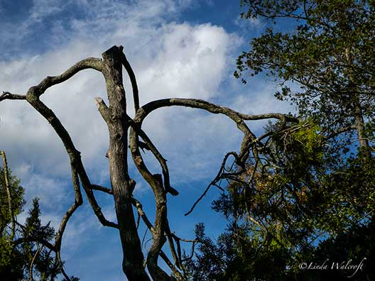 tall tree with broken branches