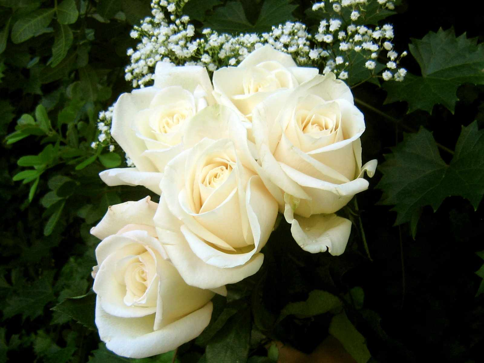 Flower Photos White Rose