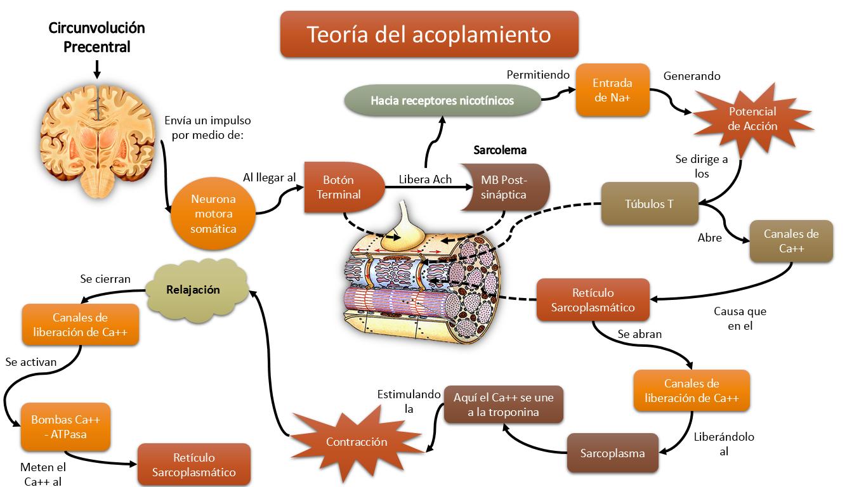 Fisiología Básica: Regulación de la Contracción; Control Neural de ...