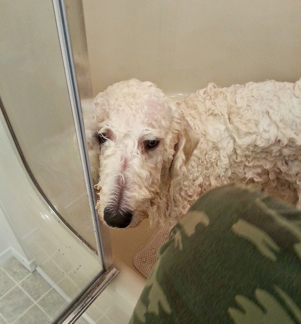 Standard poodle haircuts or of unless soft haircuts standard poodle - Look At Those Sad Eyes
