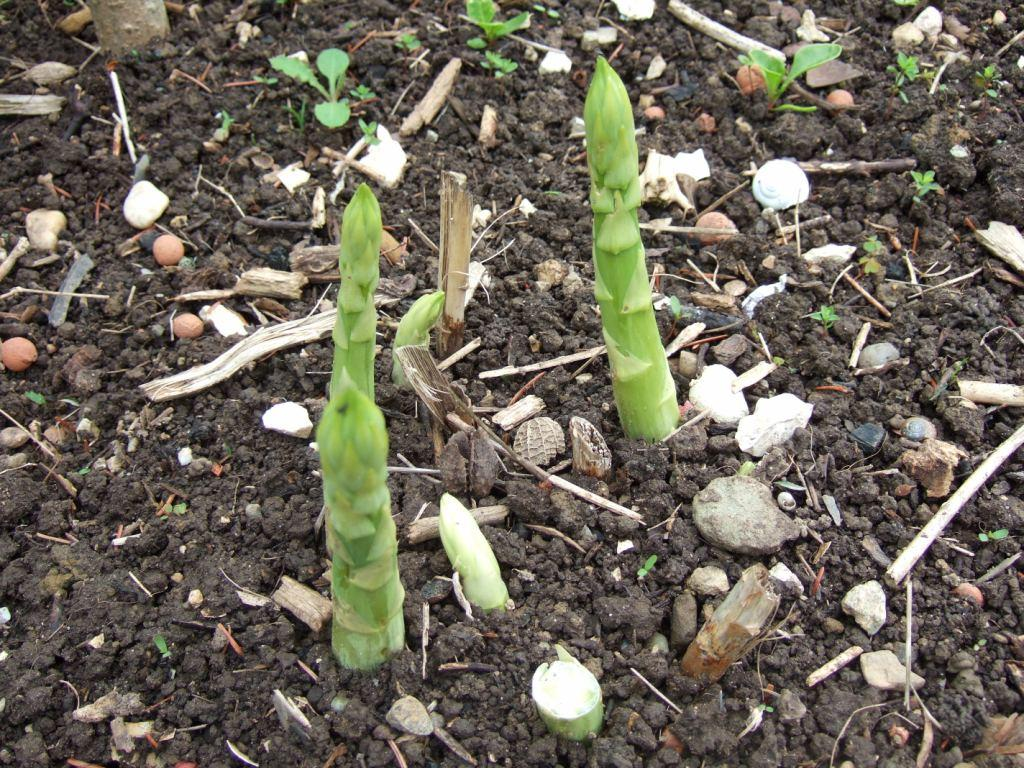 pflanzen resort gr ner spargel asparagus officinalis. Black Bedroom Furniture Sets. Home Design Ideas