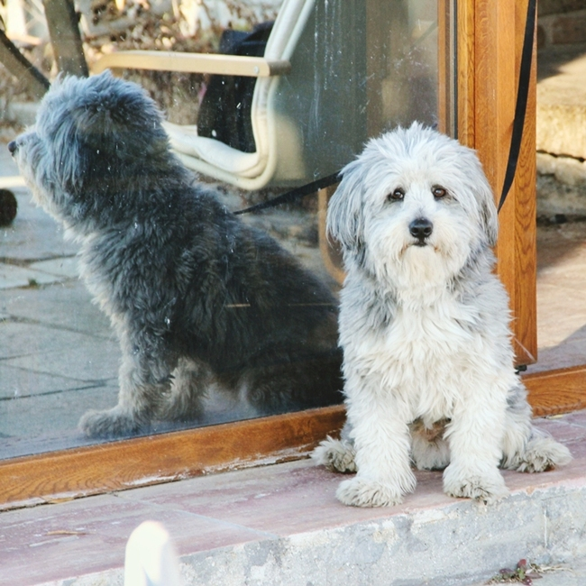 Jelena Zivanovic Instagram @lelazivanovic.Glam fab week.Havanese dog,Lucky.Havanese rasa psa.