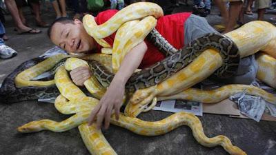 Filipino se enrosca em cobras para celebrar o Ano da Serpente no calendário chinês