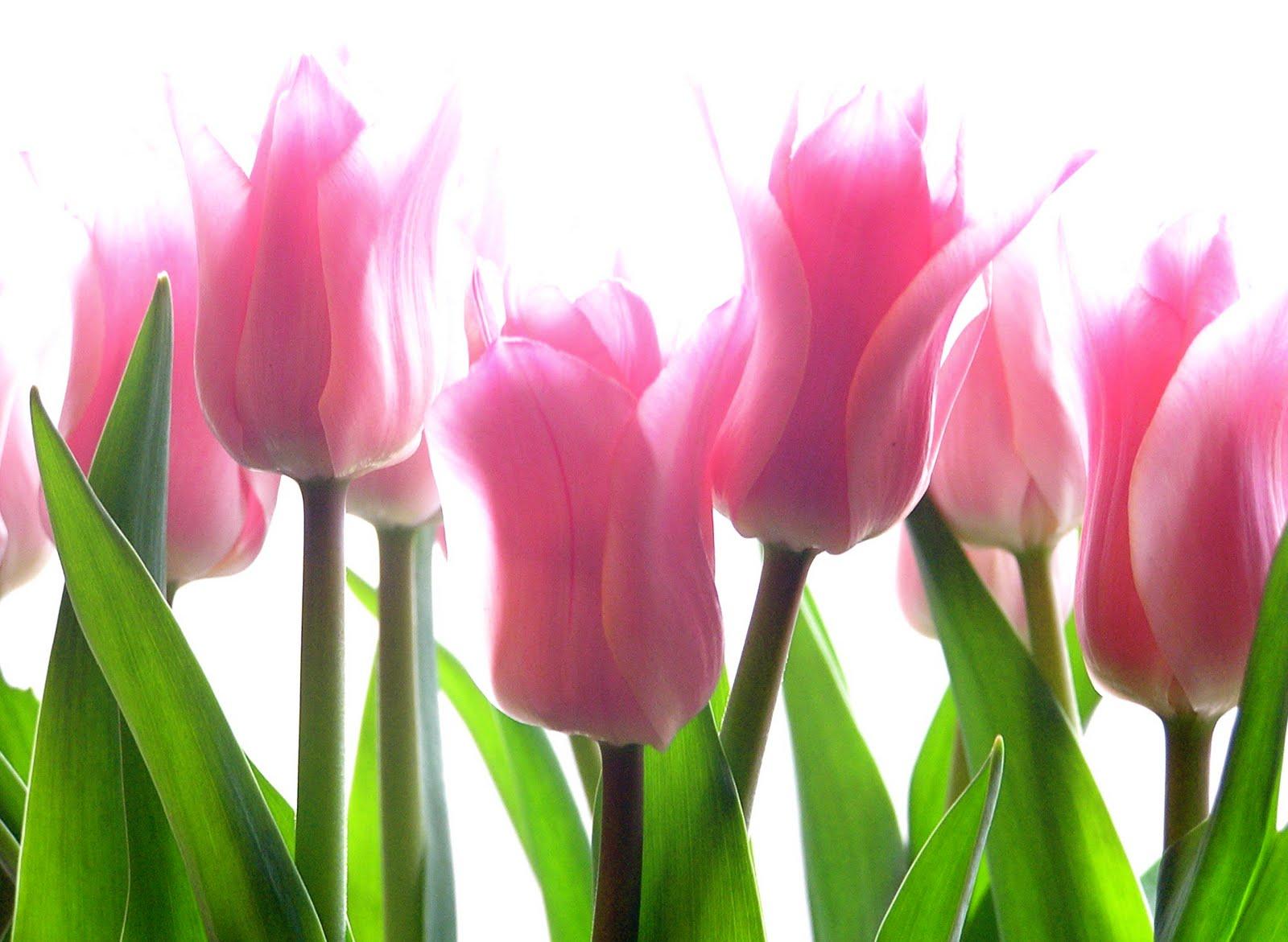 tulip hd flowers