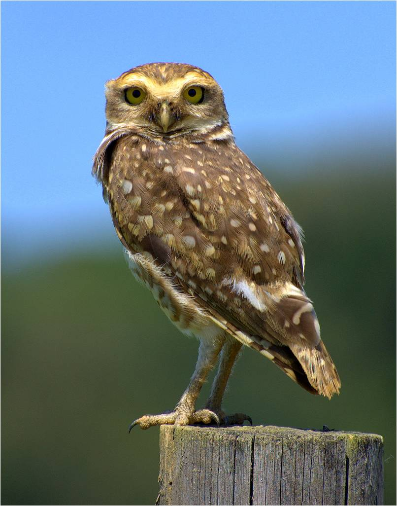the burrowing owl the smallest species of owl the ark