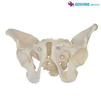 Torso Anatomi Organ Tubuh Panggul Pria GM-X123