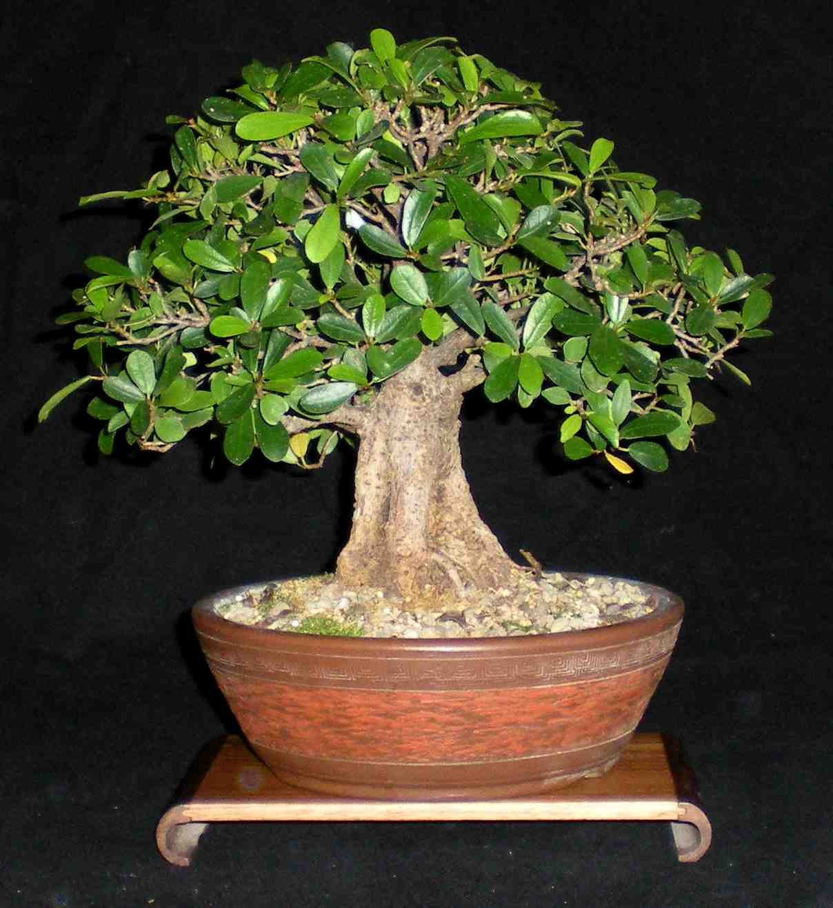 Download image Ficus Microcarpa 1 2 3 PC, Android, iPhone and iPad ...