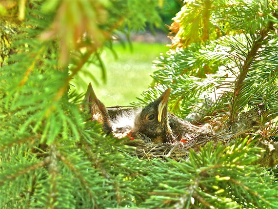 baby birds in a nest sitting on a branch in a pine tree