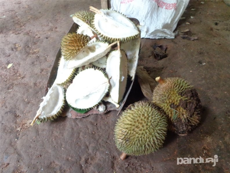 Panen durian di pacitan