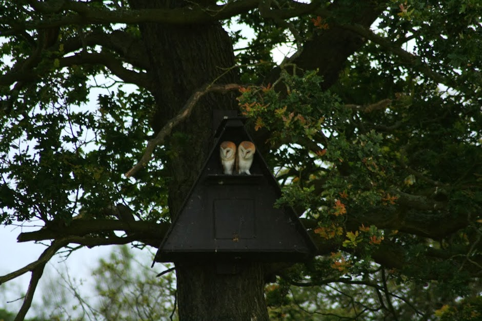 Mid Cheshire Barn Owls