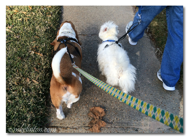 Bentley Basset Hound and Pierre Westie walking on sidewalk.