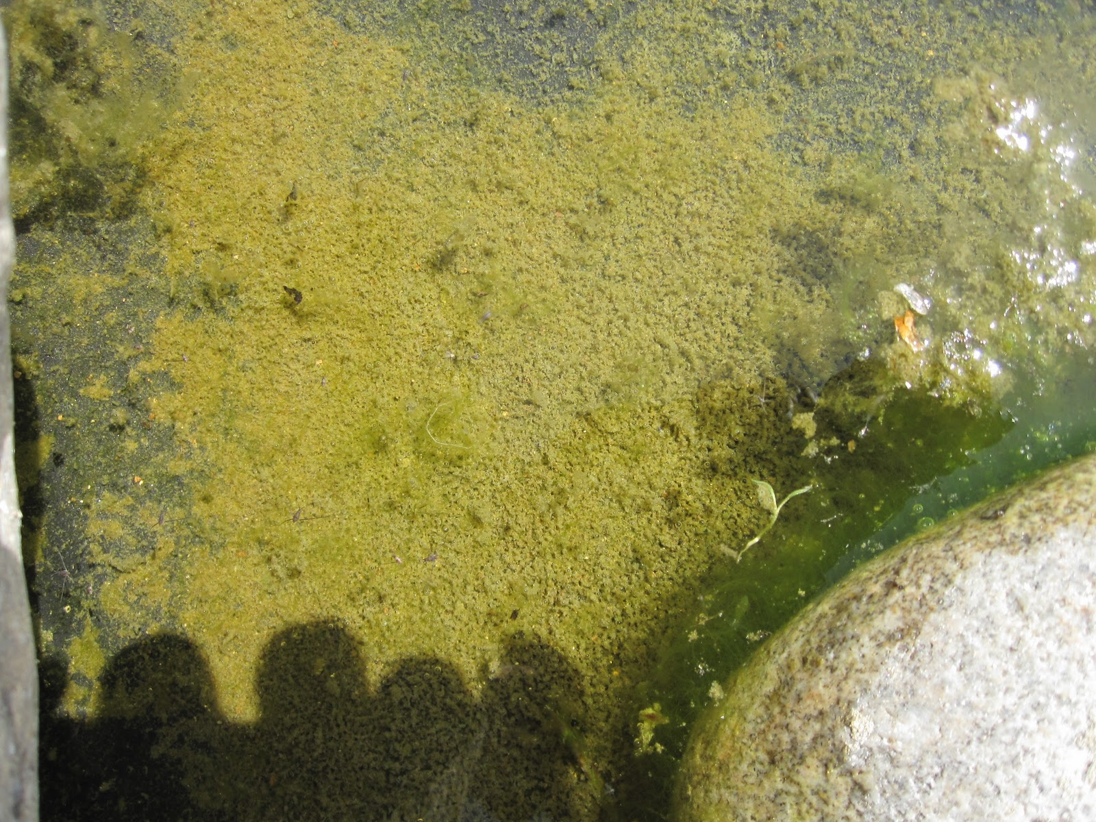 Piscine naturelle en auto construction bonheur et algues for Algue dans piscine