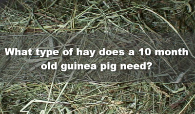 What type of hay does a 10 month old guinea pig need?