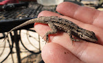 Photograph of baby lizard by Darla Sue Dollman