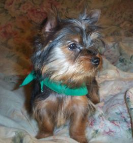 Stumpy, male yorkie,