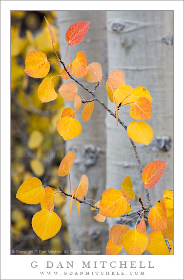 Autumn Aspen Leaves1