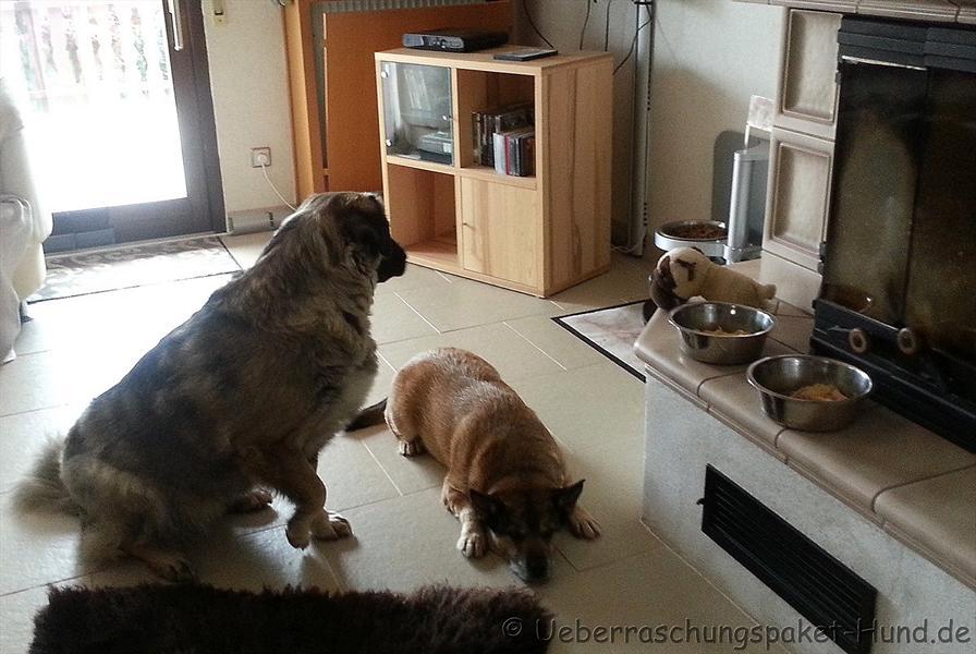 Selbstgekochte Spaghetti für Hunde