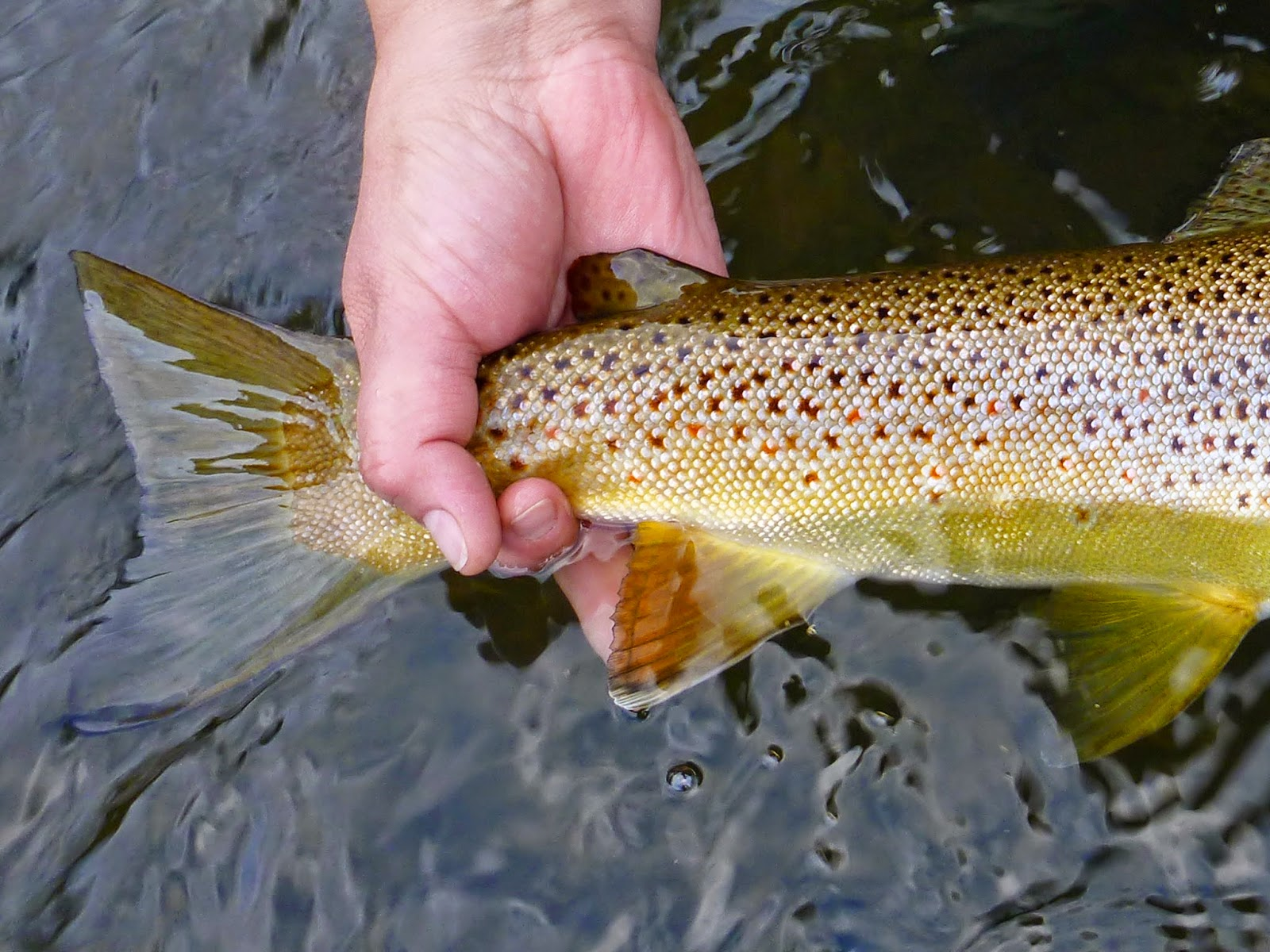 Close up of big brown trout from the Delaware