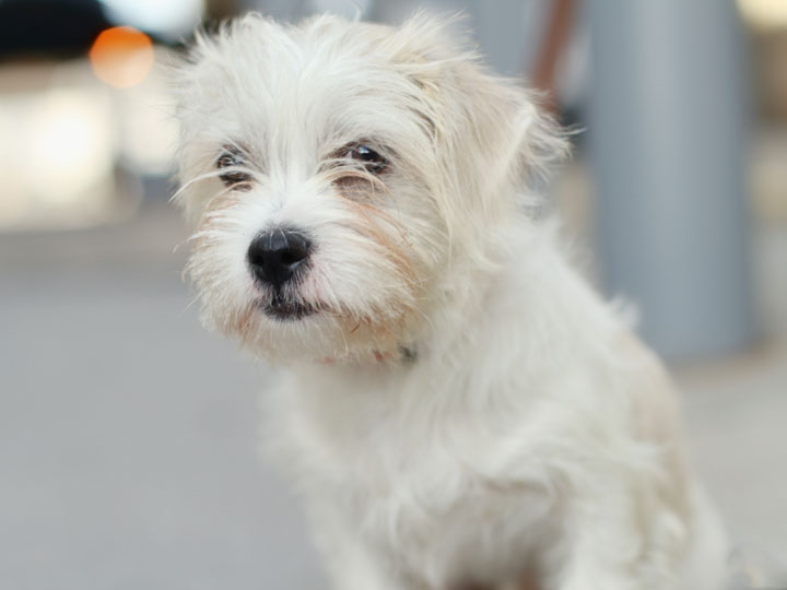 Toy dog puppies pictures - Imperial westies ...