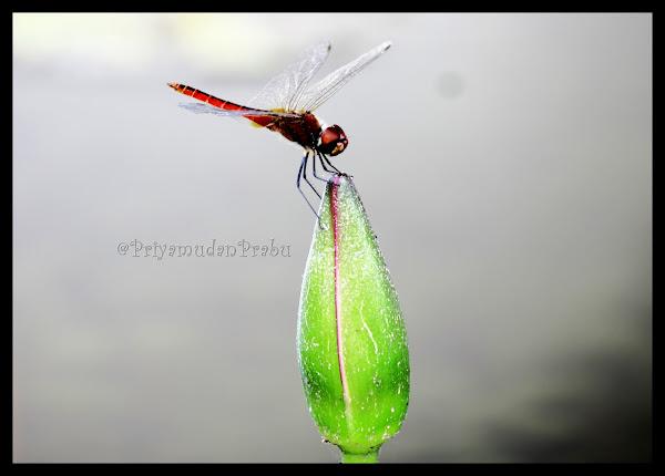 தட்டான்பூச்சி-புகைப்படம்-Dragonfly-Photos  Dragonfly-priyamudanprabu+%25283%2529