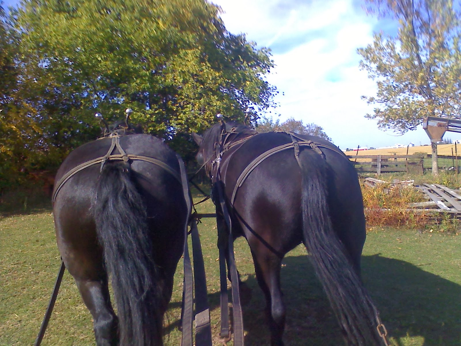 Amish Horses  Work Harness