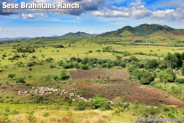Sese Brahmans Ranch in Mandaon Masbate