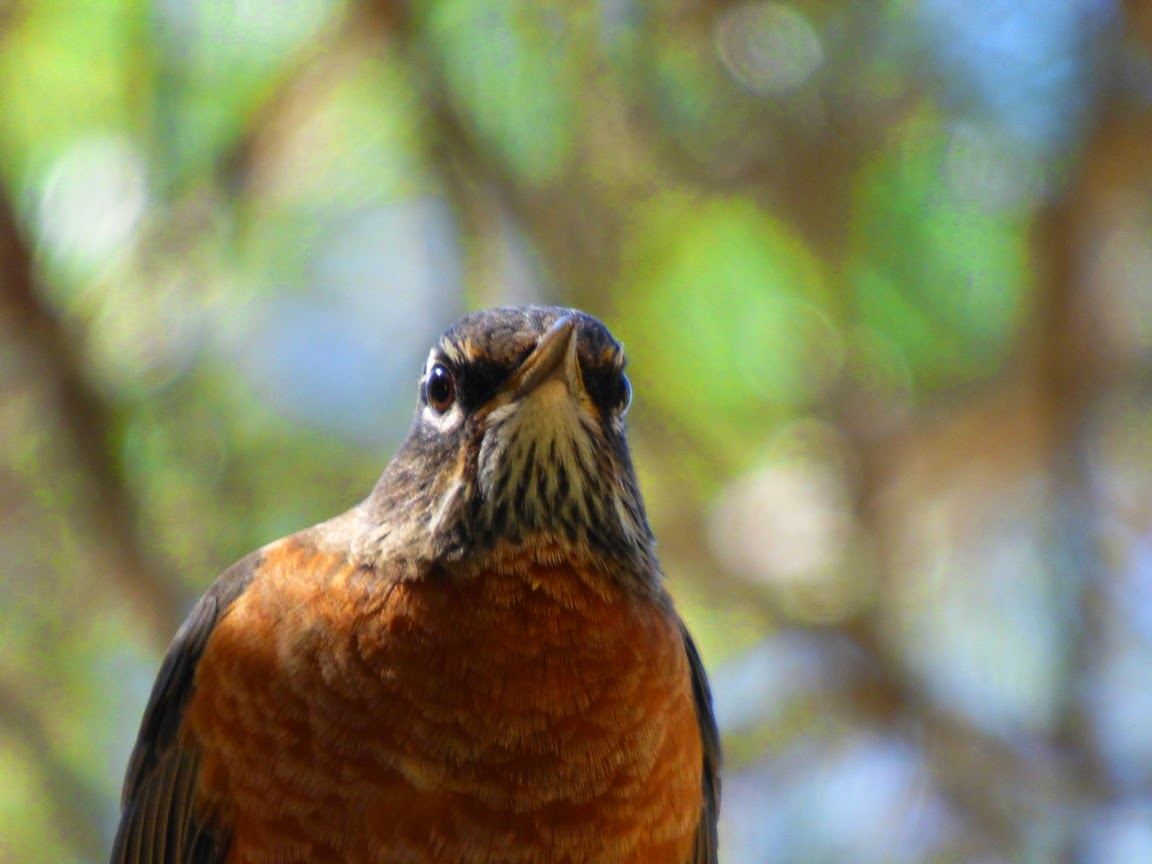 geotripper u0027s california birds bird of the day american robin at