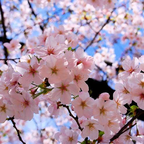 Sakura. kredit dari blog ini